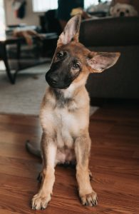 flipped image of confused German shepherd puppy with head tilted