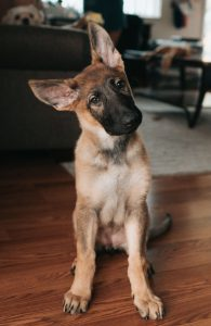 confused German shepherd puppy with head tilted